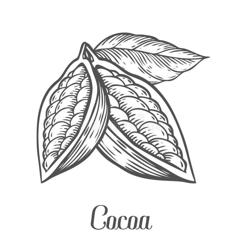 Нарисованная рука какао Иллюстрация вектора ботаники какао Doodle здоровой nutrient еды иллюстрация вектора