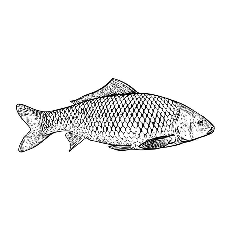 Нарисованная рукой иллюстрация рыб карпа иллюстрация штока