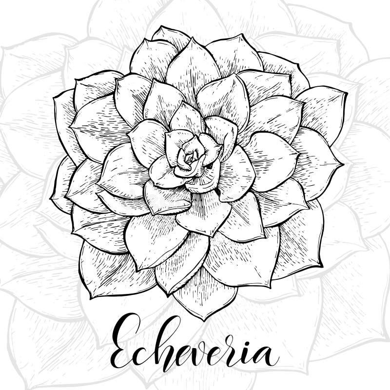 Нарисованные рукой кактусы Echeveria иллюстрация вектора