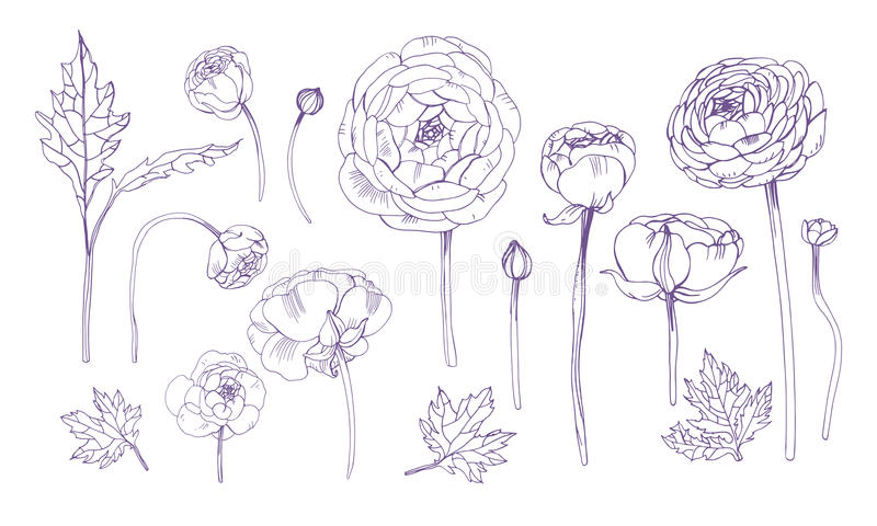 Нарисованный рукой комплект элементов плана флористический Собрание с цветками лютика иллюстрация вектора