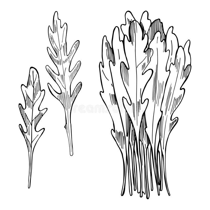 Нарисованный рукой салат Arugula выходит rucola Illustra эскиза вектора иллюстрация вектора