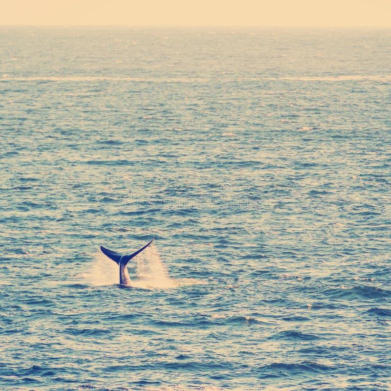 Нарушение хвоста кита на горизонте стоковая фотография rf