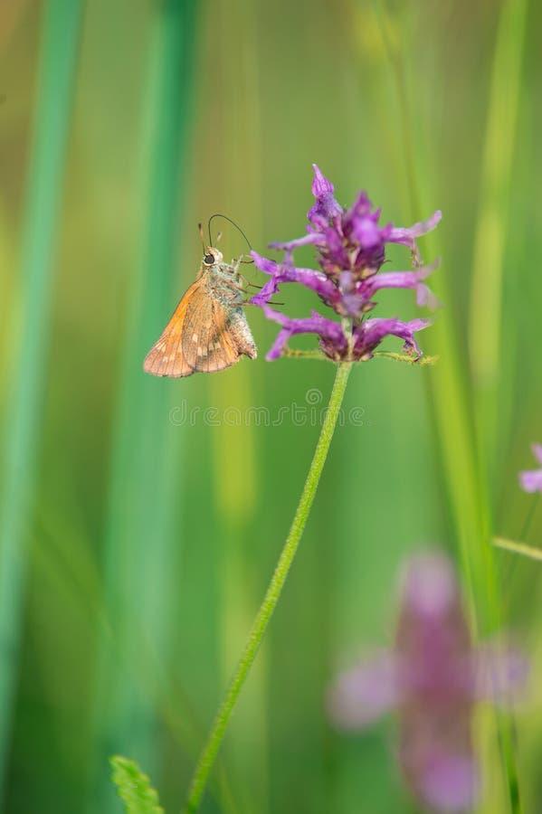 Насекомое бабочки Брайна и апельсина на зеленом butine конца-вверх предпосылки фиолетовый цветок стоковая фотография