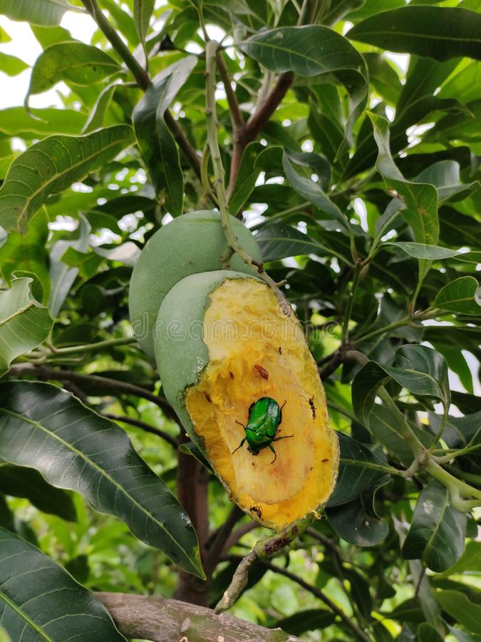Насекомое в манго стоковое изображение rf