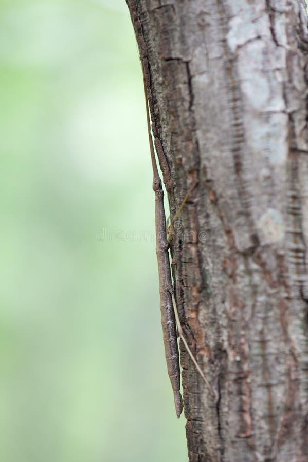 Насекомое гуляя ручки на стволе дерева стоковое изображение