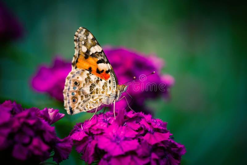 Насекомое макроса цветков цвета бабочки cardui Vanessa стоковая фотография