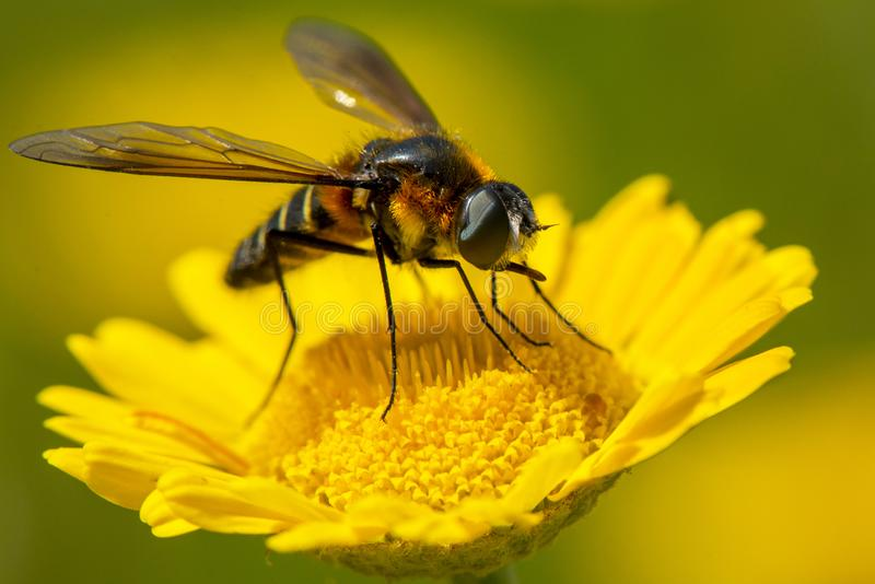 Насекомое на желтом цветке стоковые изображения rf