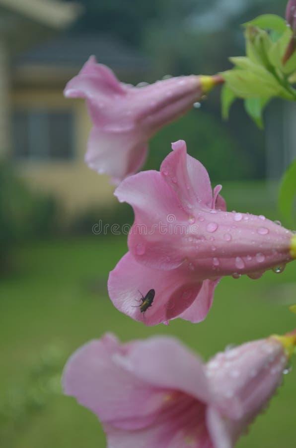 Насекомое на цветке славы утра стоковое изображение