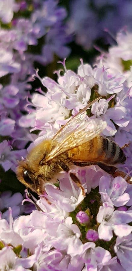 Насекомое природы пчелы цветка красивое стоковое изображение rf