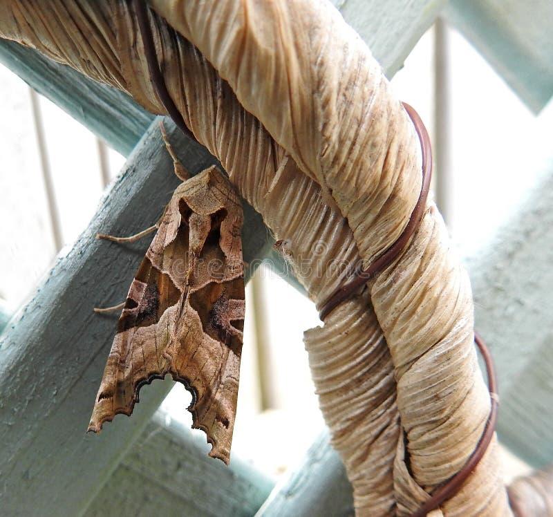 Насекомое сумеречницы сада закамуфлированное на вися ручке корзины стоковые фото