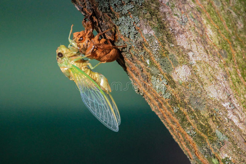 Насекомое цикады завершает метаморфозу в, который подогнали взрослый стоковое фото