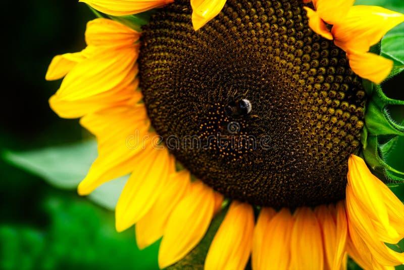 Насекомое шершня на солнцецвете стоковое фото