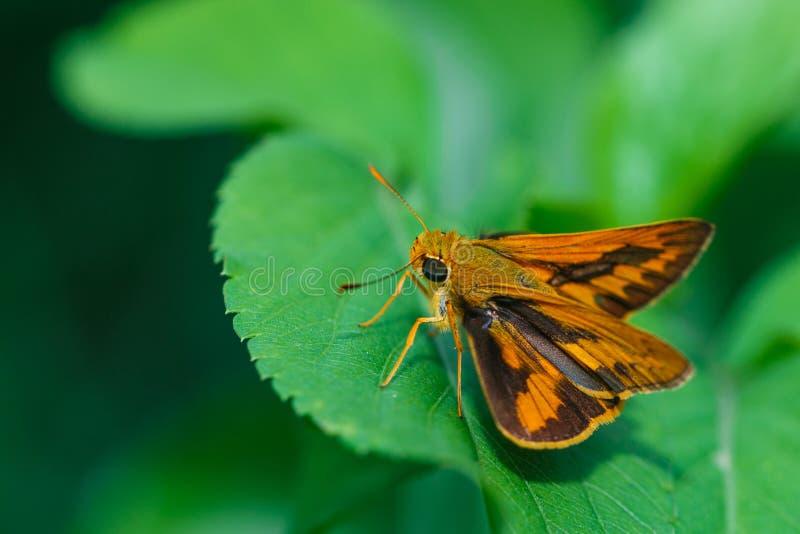 Насекомые, бабочка, сумеречницы, черепашка стоковое изображение rf