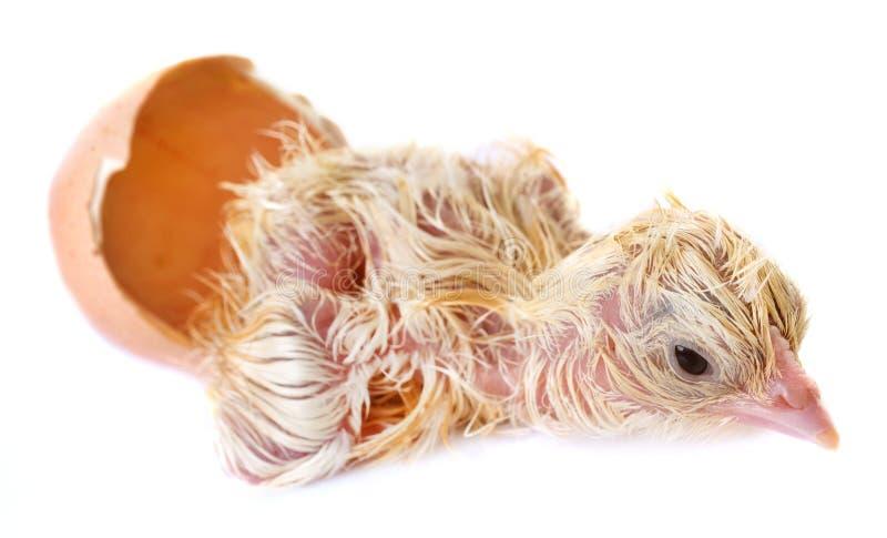 Насиживать цыпленока стоковые изображения