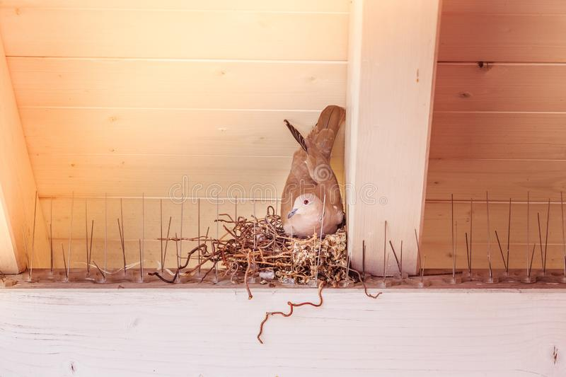 Насиживать яйцо: Голубь сидит в гнезде птицы стоковые фото