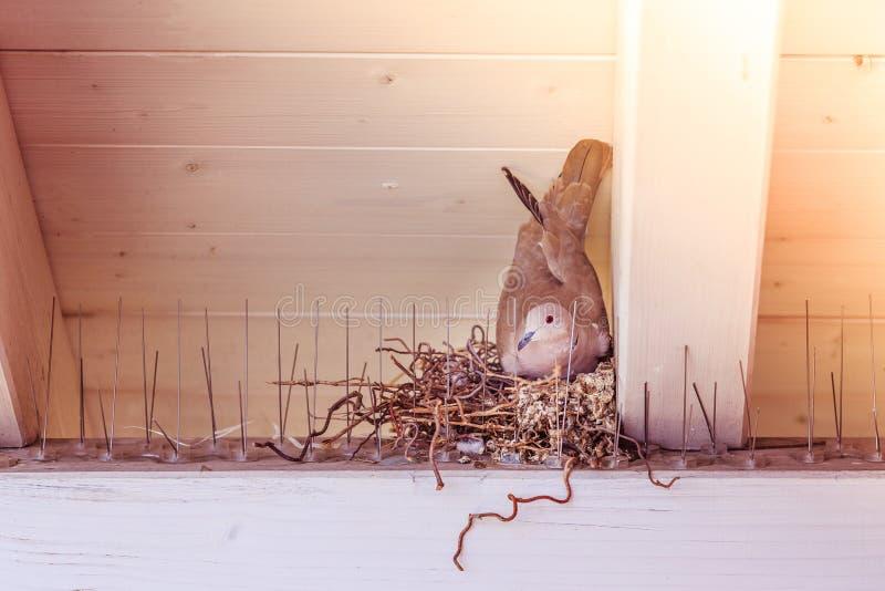 Насиживать яйцо: Голубь сидит в гнезде птицы стоковое изображение