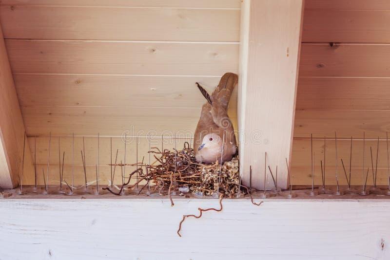 Насиживать яйцо: Голубь сидит в гнезде птицы стоковая фотография