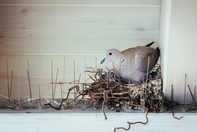 Насиживать яйцо: Голубь сидит в гнезде птицы стоковые изображения rf