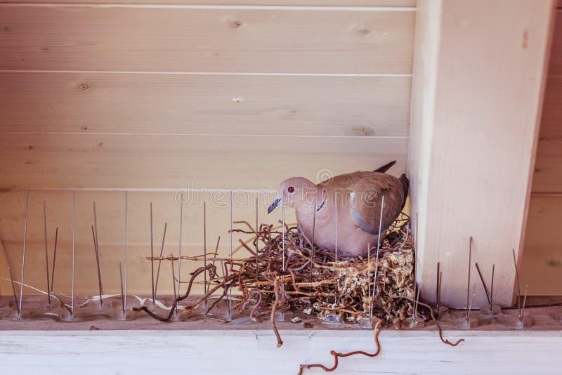Насиживать яйцо: Голубь сидит в гнезде птицы стоковые изображения