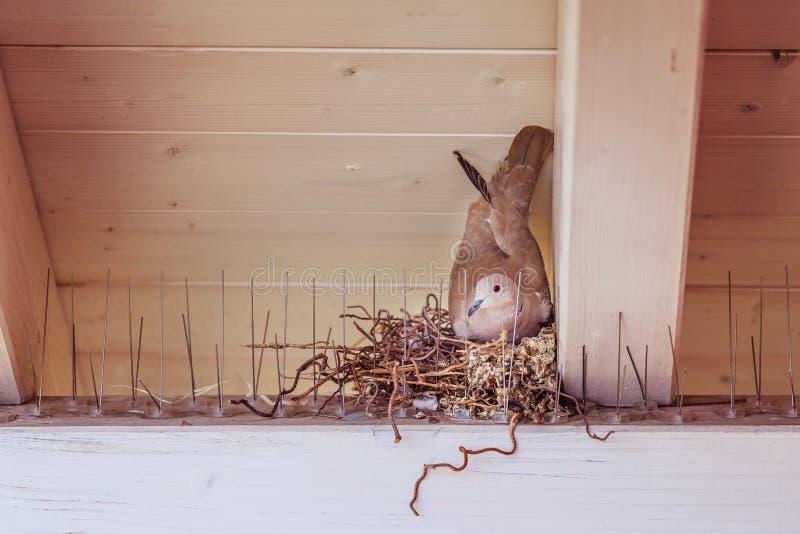 Насиживать яйцо: Голубь сидит в гнезде птицы стоковые фотографии rf