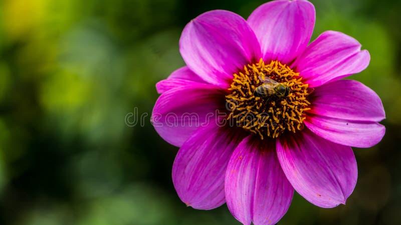 Наслаждение ` s пчелы стоковые фотографии rf
