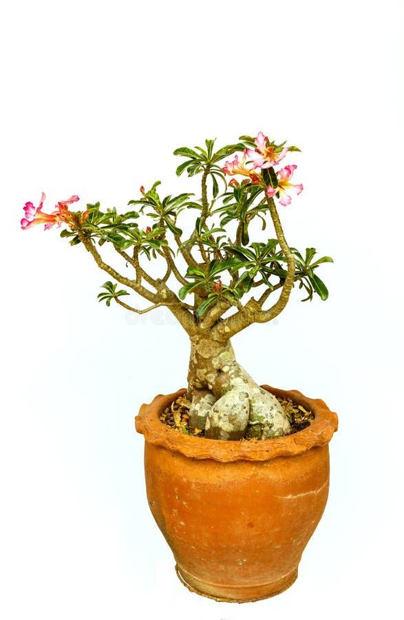 Насмешливый цветок азалии стоковое фото rf
