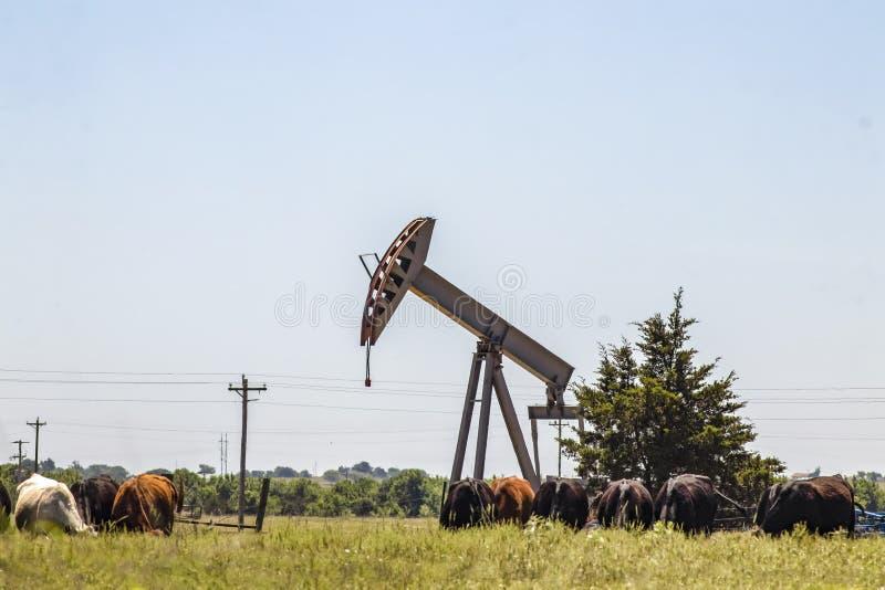 Насос буровой вышки поднимает домкратом вне в поле с коровами пася рядом стоковое изображение