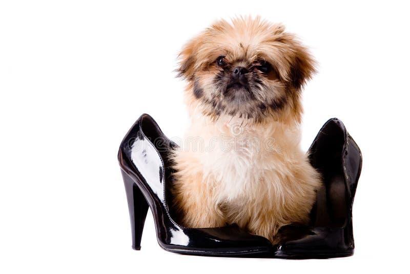 насос собаки pekingese стоковое фото rf