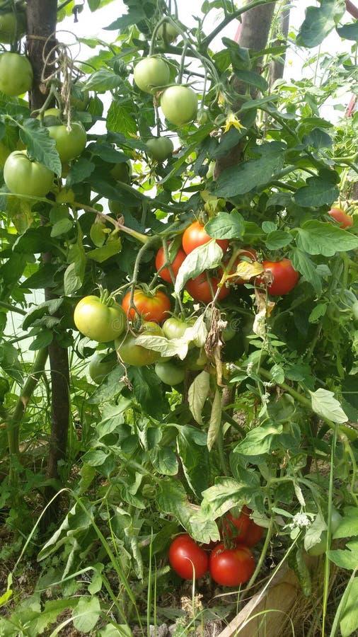 Настолько зрелые томаты стоковое изображение