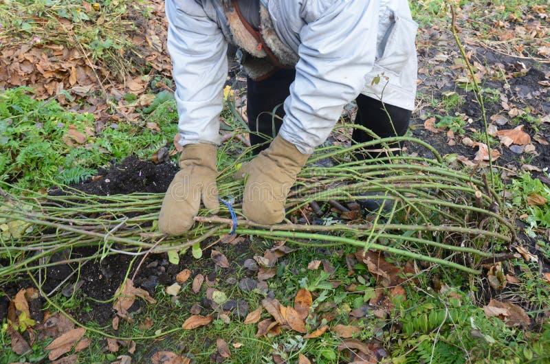 Насыпь садовника и куст роз связи взбираясь Предохранение от зимы для стоковые фотографии rf