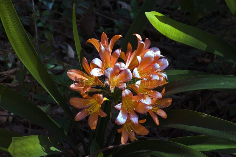 Натальная лилия или Clivia на темной предпосылке сада стоковая фотография rf