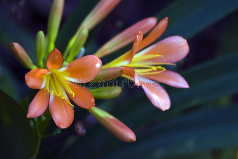 Натальная лилия или Clivia на темной предпосылке сада стоковое изображение rf