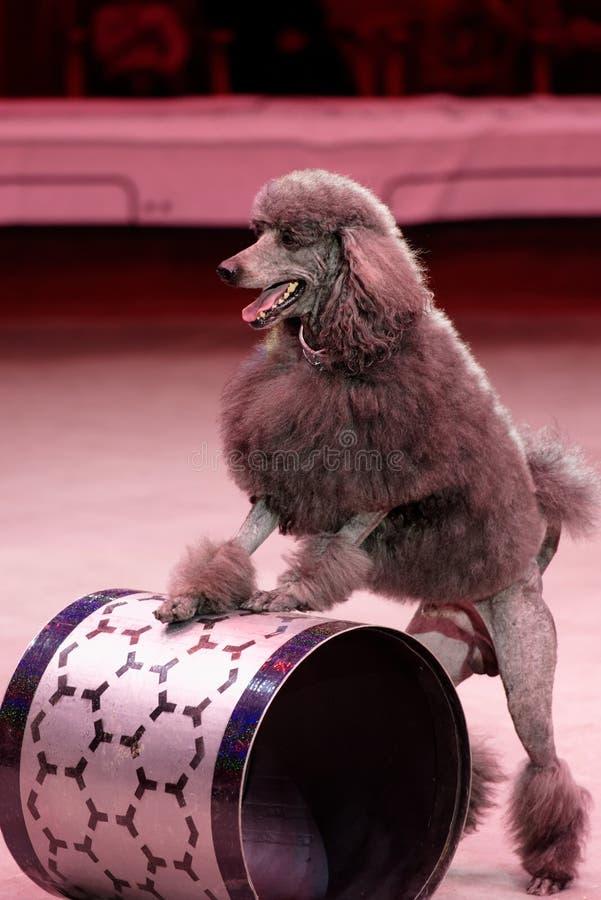 Натренированная собака во время генеральной репетиции цирка 2 программы цирка 0 в Санкт-Петербурге, Россия стоковое фото rf