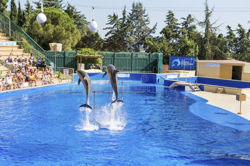 2 натренировали дельфинов скача в бассейн стоковые изображения rf