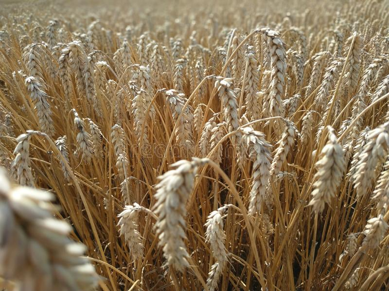 Натуральный продучт пшеничного поля Уши сбора природы роста золотого конца пшеницы вверх Сельская сцена под солнечным светом o стоковые изображения rf