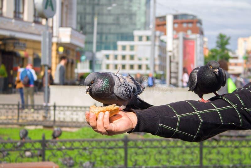 Нахальные голуби едят хлеб от рук туристов Питаться птиц города Прогулка вокруг города стоковое изображение rf