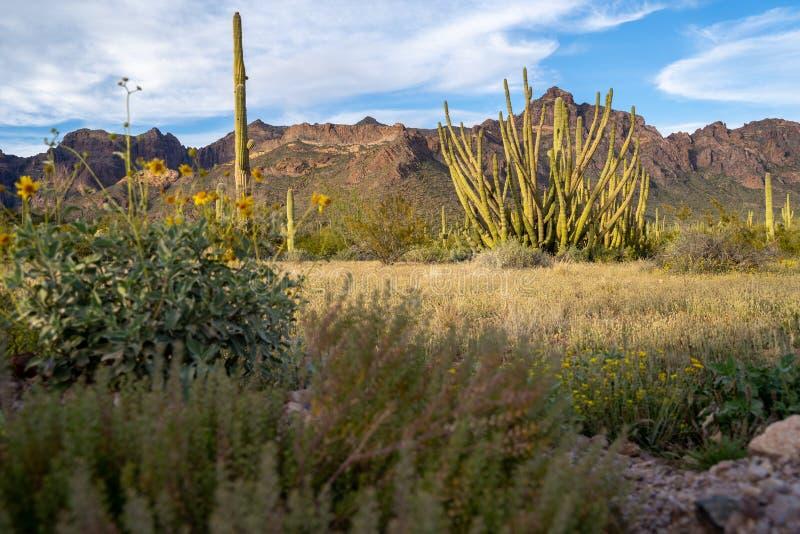 Национальный монумент кактуса трубы органа - с scrub травы, wildflowers, и saguaros стоковые изображения