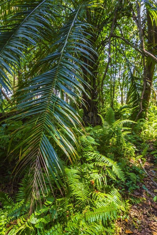 Национальный парк залива Jozani Chwaka леса джунглей, Занзибар, Танзания стоковые фотографии rf