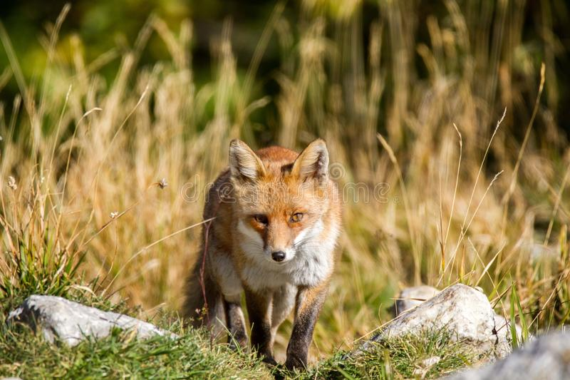Национальный парк Fox Абруццо стоковая фотография rf