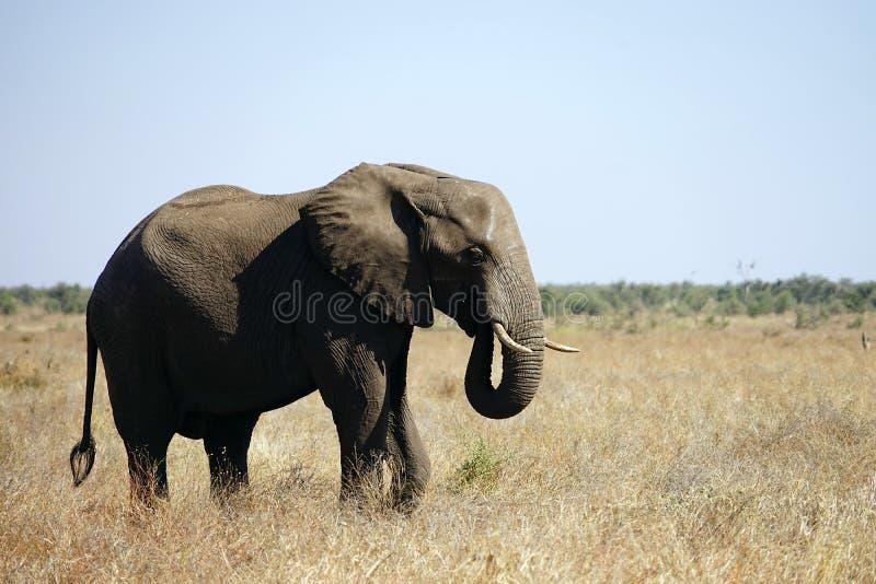 Национальный парк Kruger африканского слона самостоятельно в глуши стоковая фотография rf