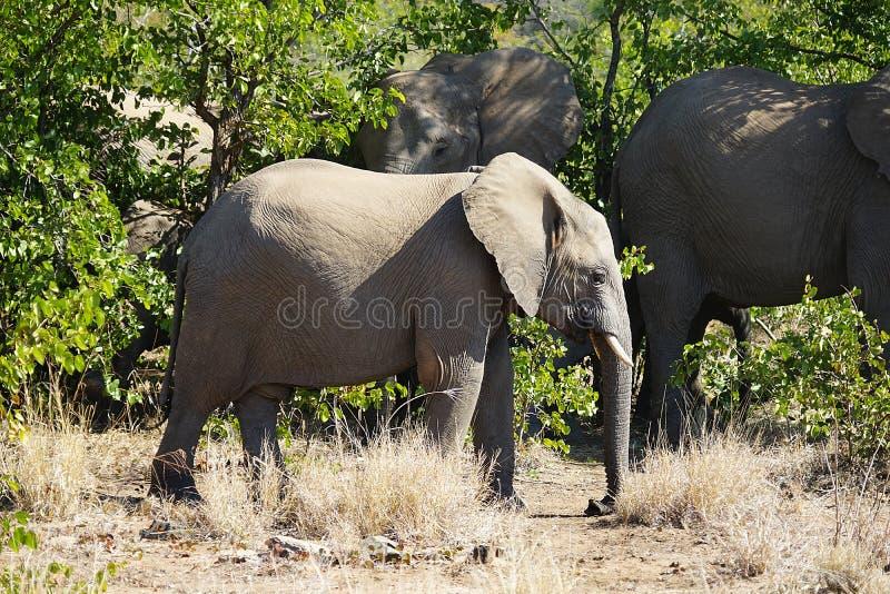 Национальный парк Kruger африканского слона самостоятельно в глуши стоковое изображение rf