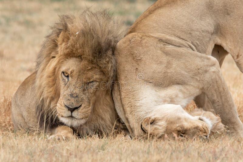 Национальный парк Kruger льва стоковое фото