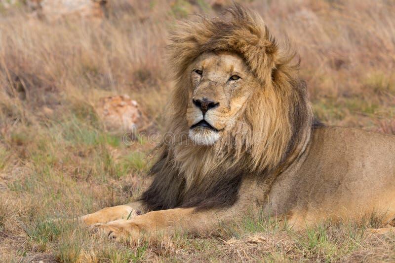 Национальный парк Kruger льва стоковые изображения