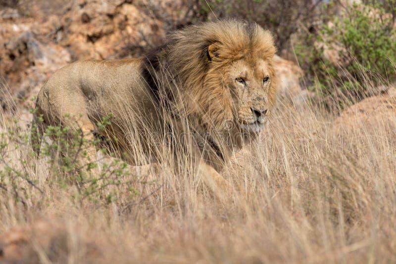 Национальный парк Kruger льва стоковые изображения rf