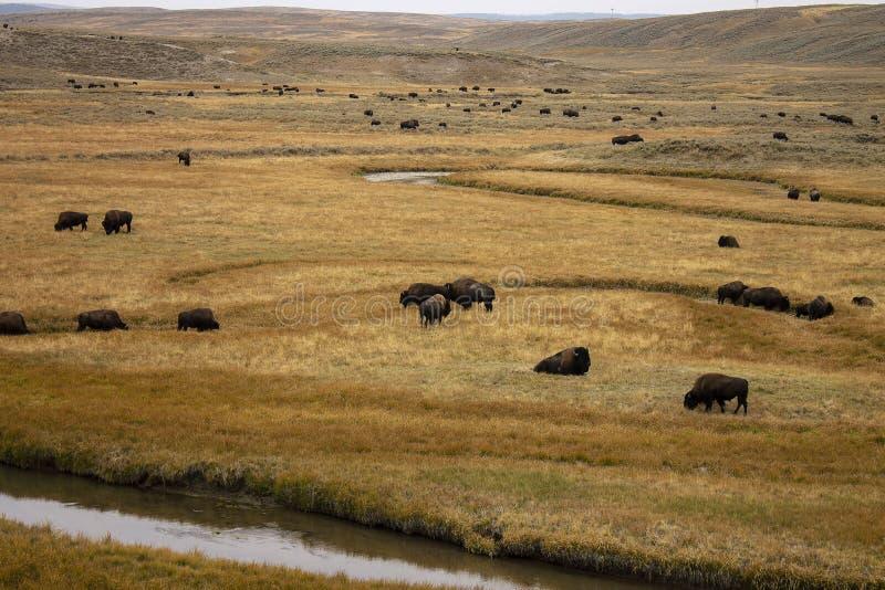 национальный парк yellowstone американского зубробизона стоковые изображения