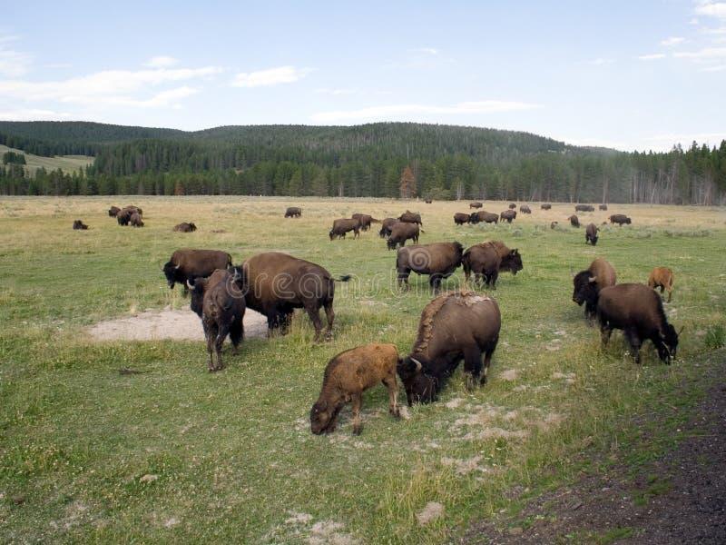 национальный парк yellowstone зубробизона стоковое фото