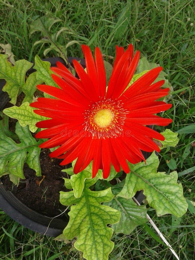 Национальный цветок Шри-Ланки стоковое фото