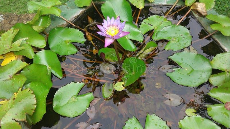 Национальный цветок nilmanel стоковое фото