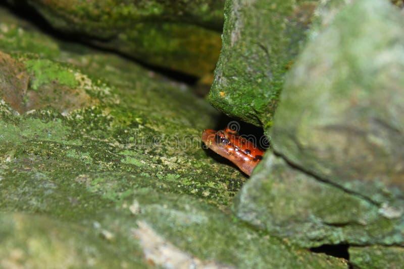 Национальный лес Shawnee саламандра пещеры стоковое изображение rf