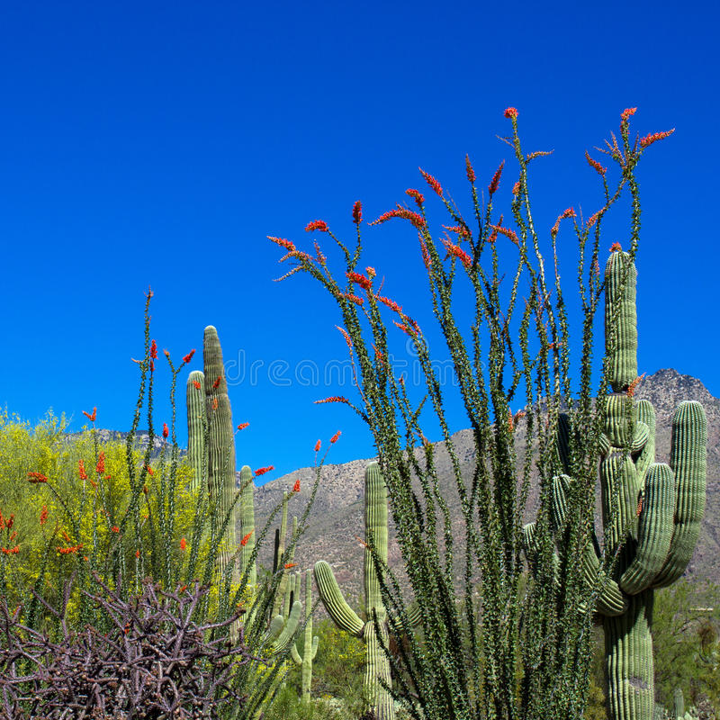 Национальный парк Saguaro стоковое фото rf